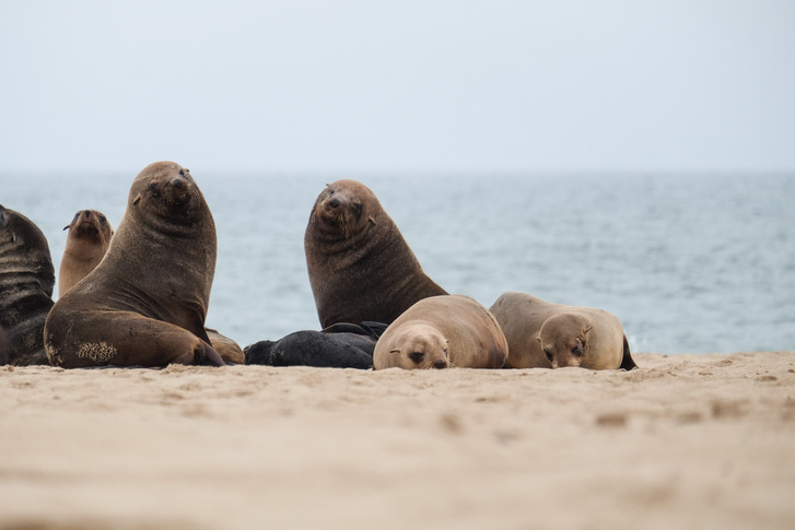 Fokák különböző méretben. Saját fotó, homokból hasalva