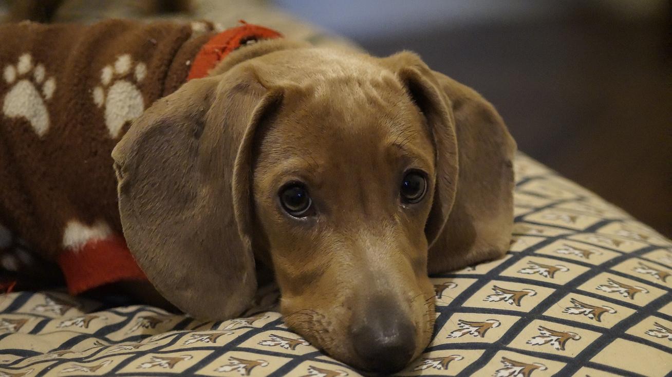 kutya influenza