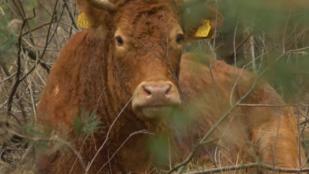Nemzeti hős és közösségimédia-sztár lett egy vakmerő holland tehén