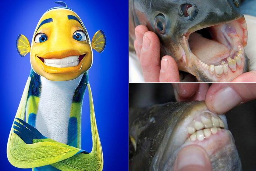 Ki ne emlékezne a Cápamese hatalmas emberi fogakat villantó szereplőire? Számos rajzfilmben láttunk hasonlót, de vannak, akik nemcsak a filmvásznon, de a valóságban is találkoztak már emberfogú halakkal.