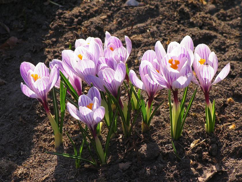 A krókusz vagy sáfrány igazi virágözönt hoz a kertbe, akár már a hóból is kibújik. Jól érzi magát balkonládában is, de, ha hagymáról ültetik, majd csak következő évben hoz virágot.
