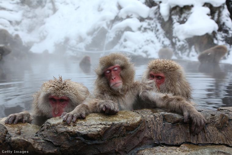 Japán makákók a Jigokudani Nemzeti Park  vizében