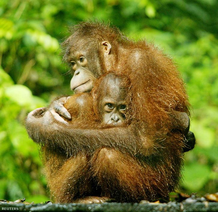 Orángután kicsinyével egy borneói rehabilitációs parkban
