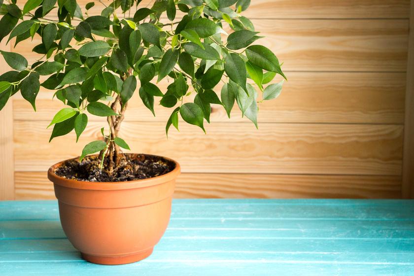 A csüngőágú vagy kislevelű fikusz az egyik legerősebb allergén: levelein képződő nedve a levegőbe kerülve irritálja a nyálkahártyát, ezzel súlyos légúti allergiás tüneteket okozhat.