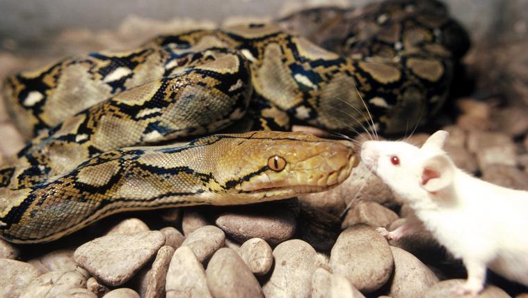A kígyók egereket esznek, és ez nagyon jó a növényeknek