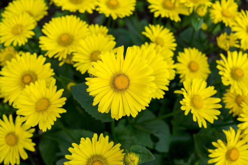 A martilapu korai virág, szívós, ezért jól bírja a hűvösebb időt is. Napos helyen, nyirkos talajon pompázik a legszebben, leveleit még salátákhoz is adják.