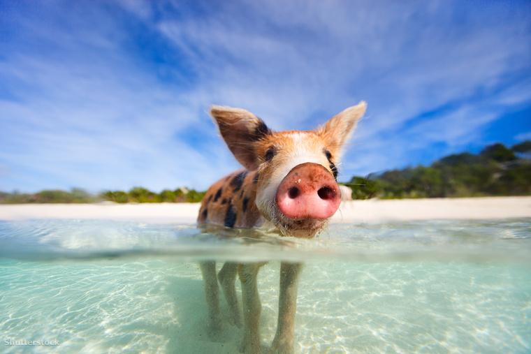 A malackák egy Big Mayor Cay nevű lakatlan szigeten élnek a Bahamákon