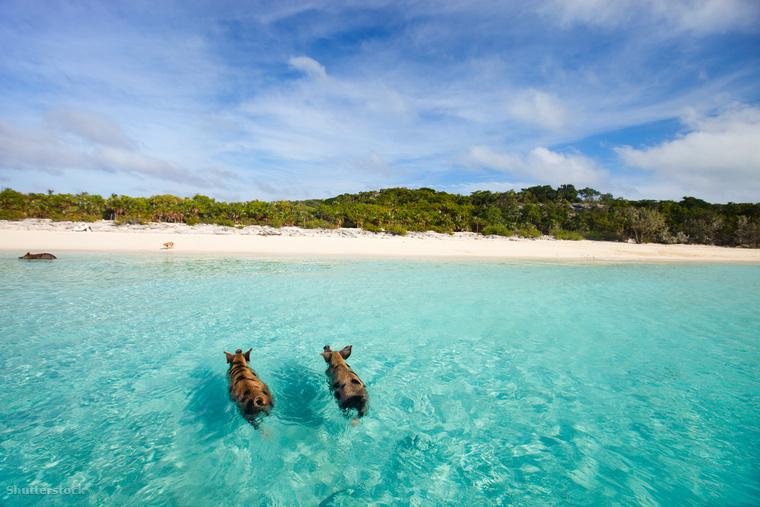 Bár a Matthew McConaughey és Kate Hudson filmjét, a Bolondok aranyát a Bahama-szigeteken vették fel, könnyen átsiklottam a tény felett, miután megtudtam, hogy disznókkal úszhatunk együtt a szigetek tengerében