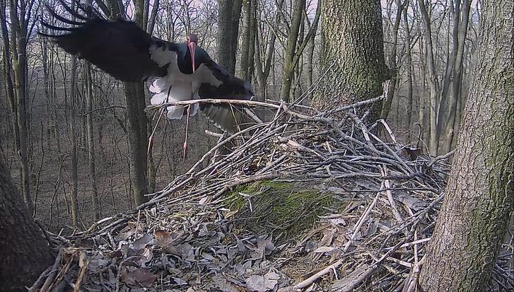 Gemenci fekete gólya / Fotó: Gemenc Zrt.