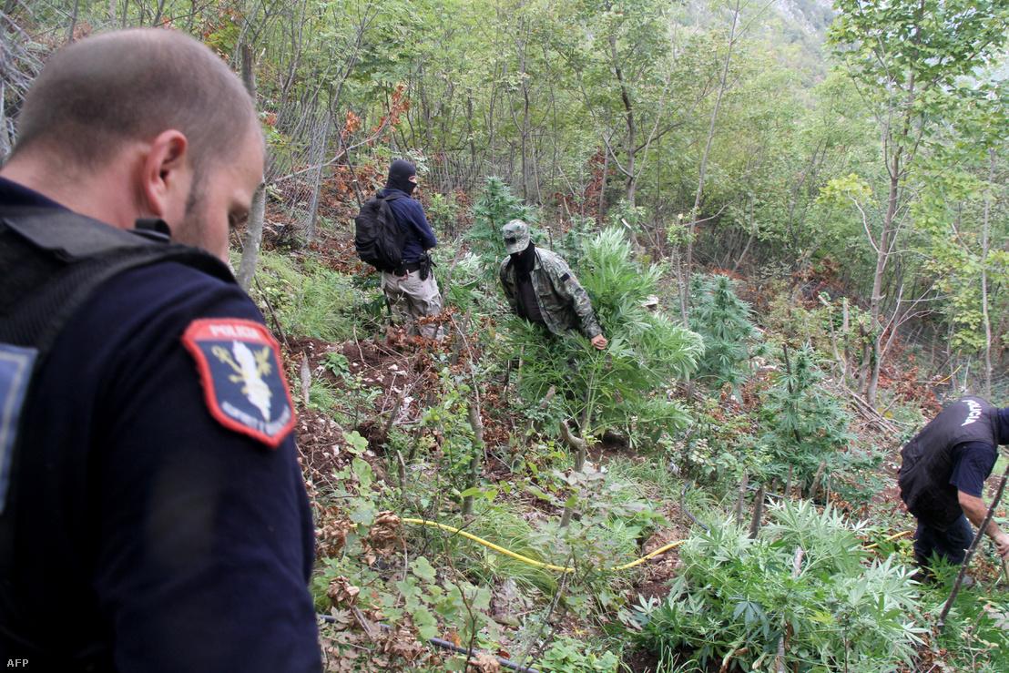 Albán rendőrök pusztítanak el egy kannabiszültetvényt a kelet-albániai Onuri hegy közelében, Kurja régióban 2016. szeptember 21-én