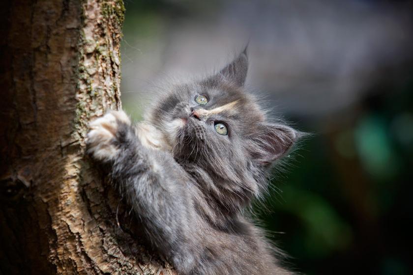 szoros-cica