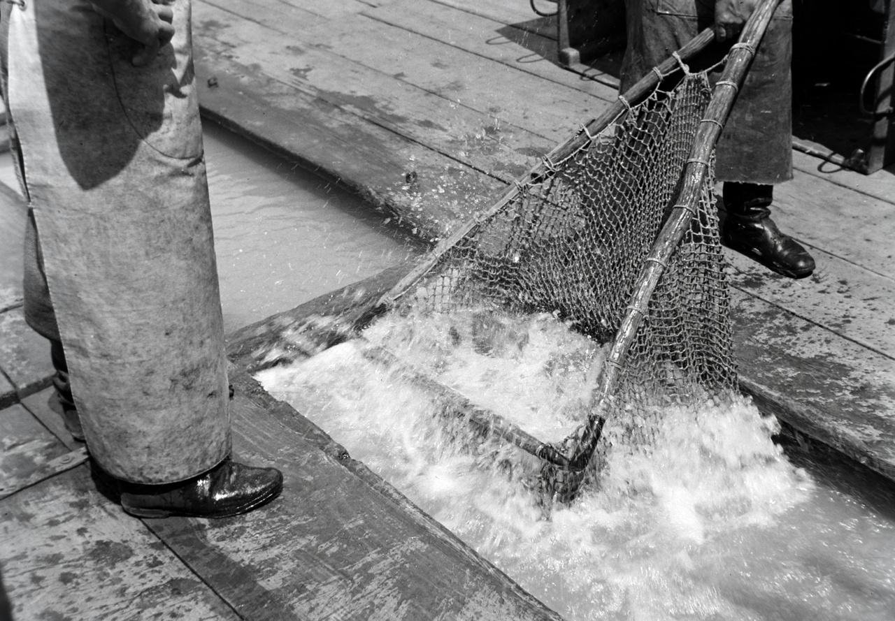 A halászbárka testében kialakított haltartó rekeszekben nyüzsögnek a halak. Jól látható, ahogy a próbálnak kiemelni belőlük néhányat.  A bárkán kialakított vízzel teli rekesz  a legkézenfekvőbb módszer a halszállításnak és élve tartásnak.