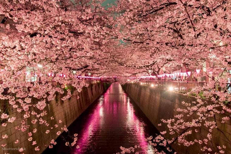 A Hanami idején minden a sakuráról szól, nem csak a természet öltözik cseresznyevirágba, az éttermek, cukrászdák és kávézók is szirmokkal bolondítják meg kínálatukat