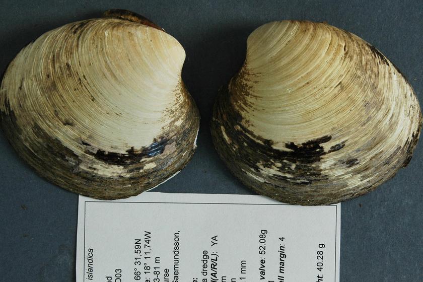 Ming, a sellőkagyló 507 évig élt, amit mintázatából számoltak ki. Izland partjainál vizsgálódó kutatók óceáni talajmintákat hoztak felszínre, így ért véget az élete.
