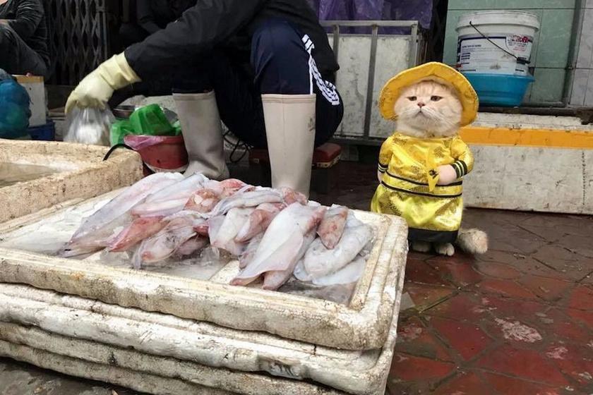 Chó egy rendkívül nyugodt macska, aki cuki jelmezében egész nap elüldögél gazdája halas standja mellett.