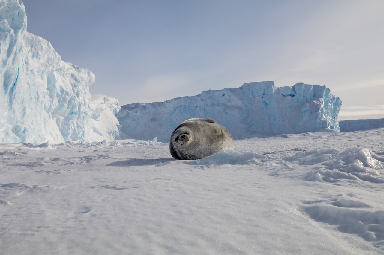 Fókaportré jégtömbökkel.