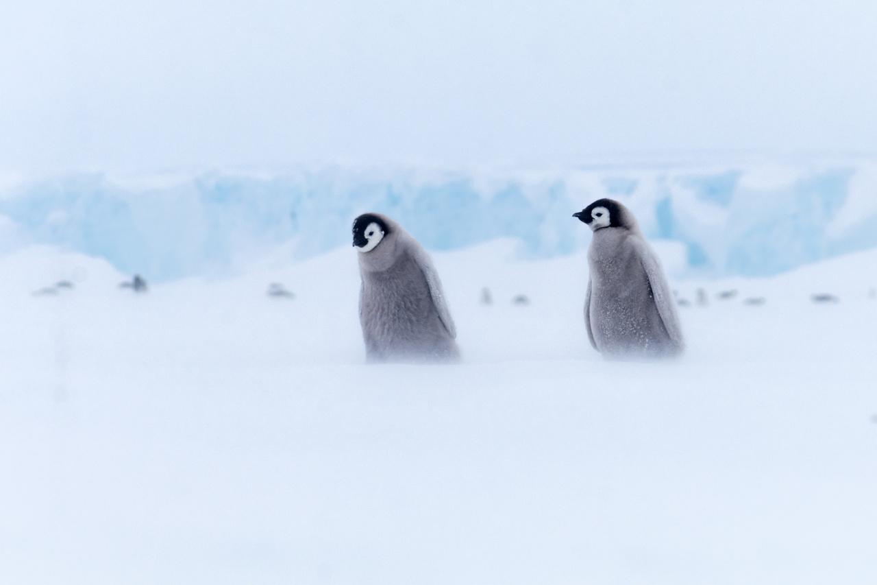 Császárpingvin-fiókák dőlnek bele a szélbe.