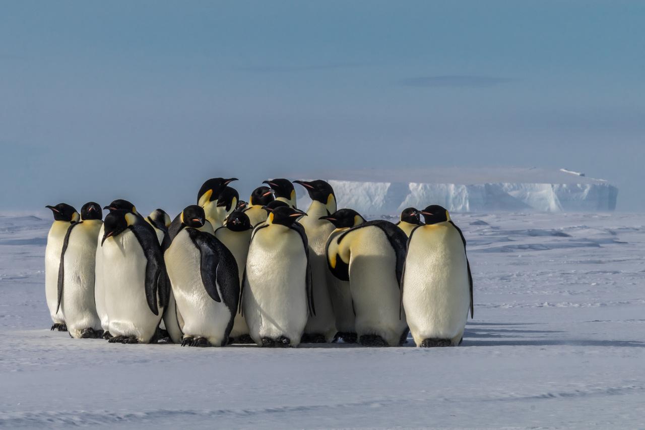 A 12 ezres császárpingvin-kolónia néhány tagja.