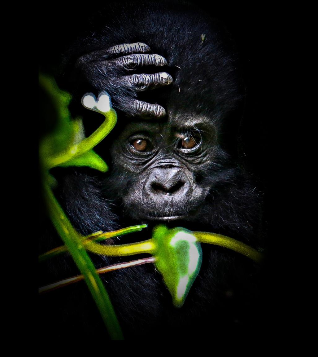 Kölyökgorilla a Bwindi Nemzeti Parkban. Az Uganda délnyugati csücskében lévő, a Kongói Demokratikus Köztársasággal határos területet sűrű erdő borítja, ezért Bwindi Áthatolhatatlan Parknak is szokták hívni. A 331 négyzetkilométeres nemzeti park – összehasonlításképp: a mi Hortobágyunk is csaknem ekkora, 285 négyzetkilométeres – a könyv szimbóluma is lehetne, hiszen Afrika leggazdagabb ökoszisztémájának ad otthont. Százhatvannal több fafaj, száznál több páfrányfaj, 120 emlősfaj, csaknem 350 madárfaj, több mint kétszáz lepkefaj él itt. A leghíresebbek közülük is a gorillák: a hegyi gorillák már csak mintegy nyolcszáz fős populációjának a csaknem fele, nagyjából 340 példány itt, Bwindiben található.