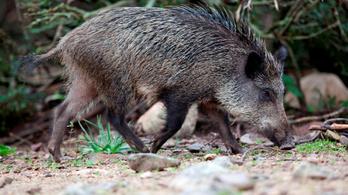 Randalírozó vaddisznóktól retteg Japán