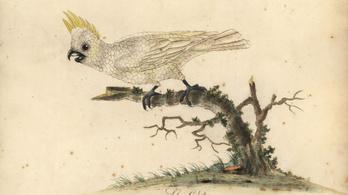 Kihalás szélén az aranyosarcú kakaduk