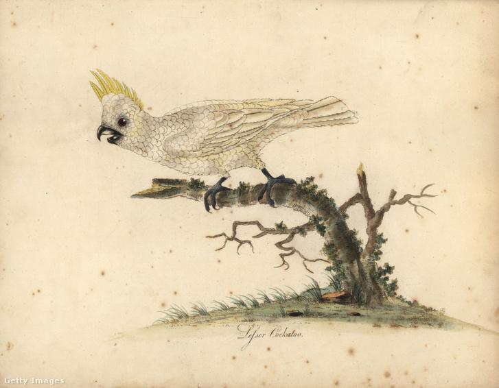 Aranyosarcú kakadu egy régi tudományos illusztráción