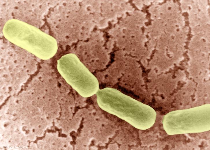 Clostridium botulinum baktérium