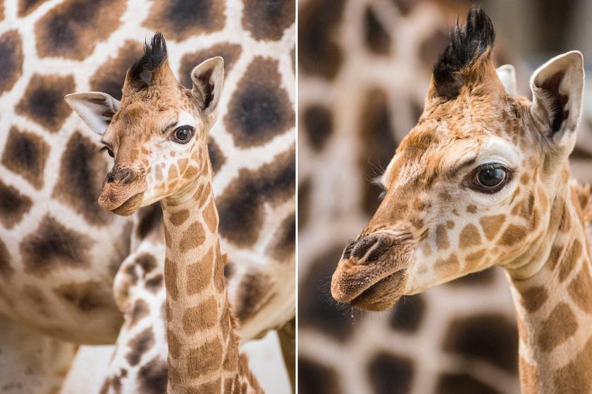 Íme, a zsiráfbébi: kedvencünk a feje búbján lévő pamacs, ami olyan, mintha a legmenőbb fodrász készítette volna a frizuráját.