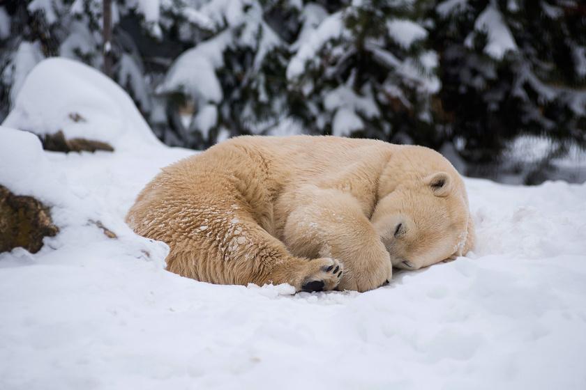 A Nyíregyházi Állatpark jegesmedvéje összegömbölyödve, édesdeden alszik a friss havon. A cuki maci szemmel láthatóan most érzi igazán elégedettnek magát.