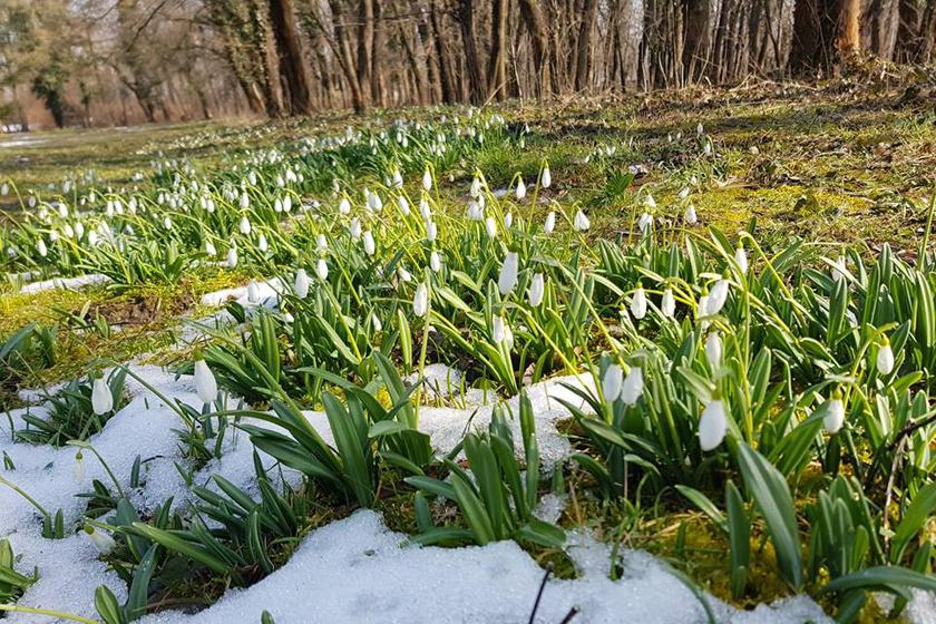 Az Alcsúti Arborétumban már február óta nyílnak a hóvirágok. A növénykék az elmúlt hetek fagyos, havas időjárását is túlélték, így sok színes rokonukkal együtt megtekinthetőek mindennap 10-18 óra között az 1050 forintos felnőtt belépővel.