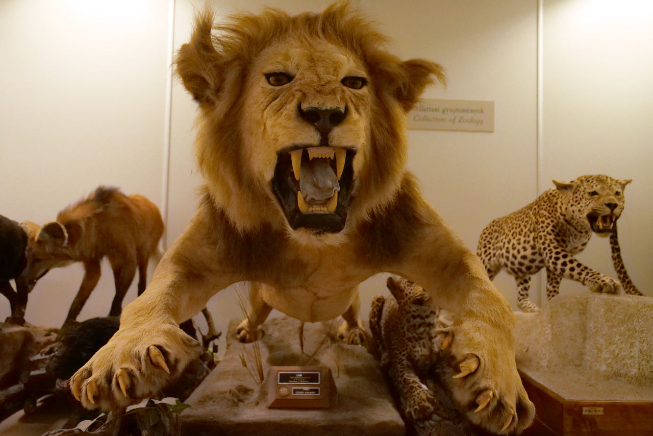 Egy kifejezetten jól sikerült oroszlán.