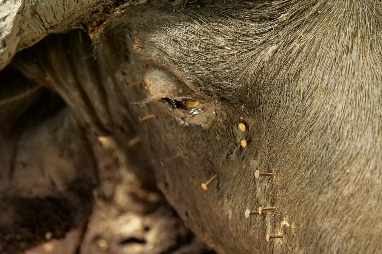A leváló kikészített bőrt szegekkel próbálták a helyén tartani.