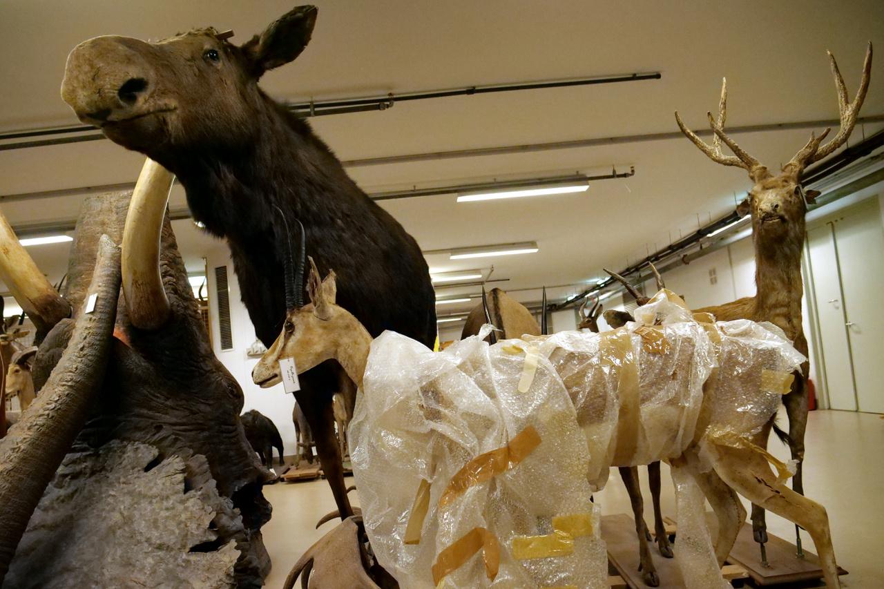 Balra egy jávorszarvas, szarvai nélkül (kiállítás esetén persze fel lehet rakni a fejéből kiálló csapokra az állati díszeket). Előtte egy fázós gazella.