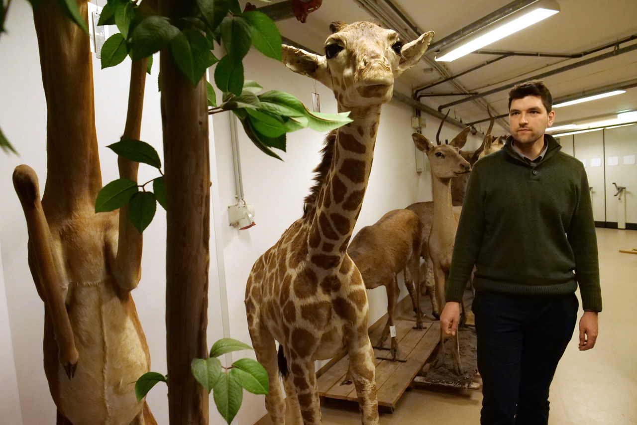 Görföl Tamás, az állattár emlősgyűjteményének kurátora egy kitömött zsiráfgyerekkel.