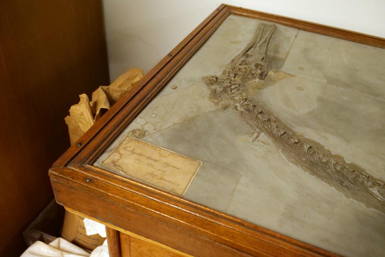 Pelagoszaurusz, őskrokodil, a fosszíliát magángyűjtő adományozta a múzeumnak a 19. században.