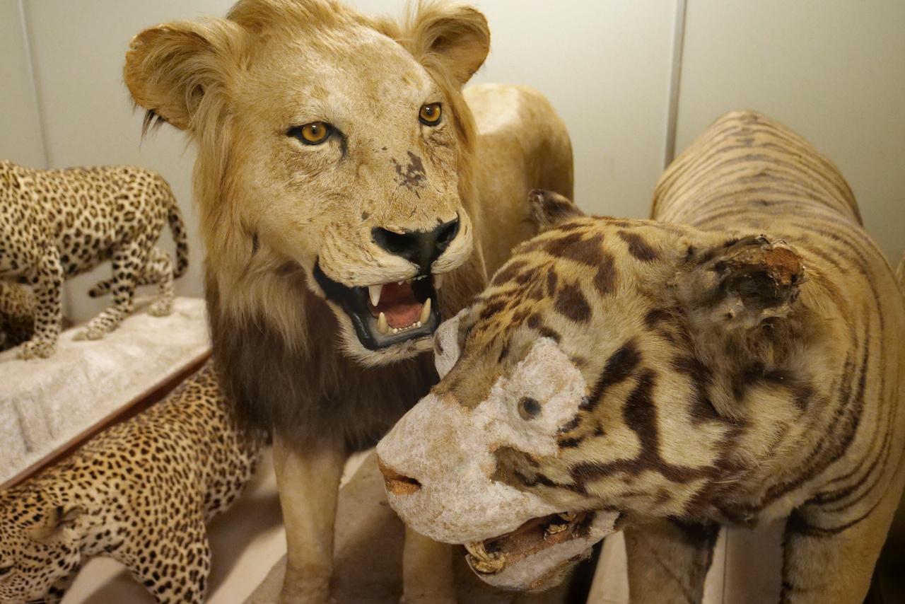 A kitömött tigris arcát sajnos gomba támadta meg, el kellett távolítani a károsodott részeket.