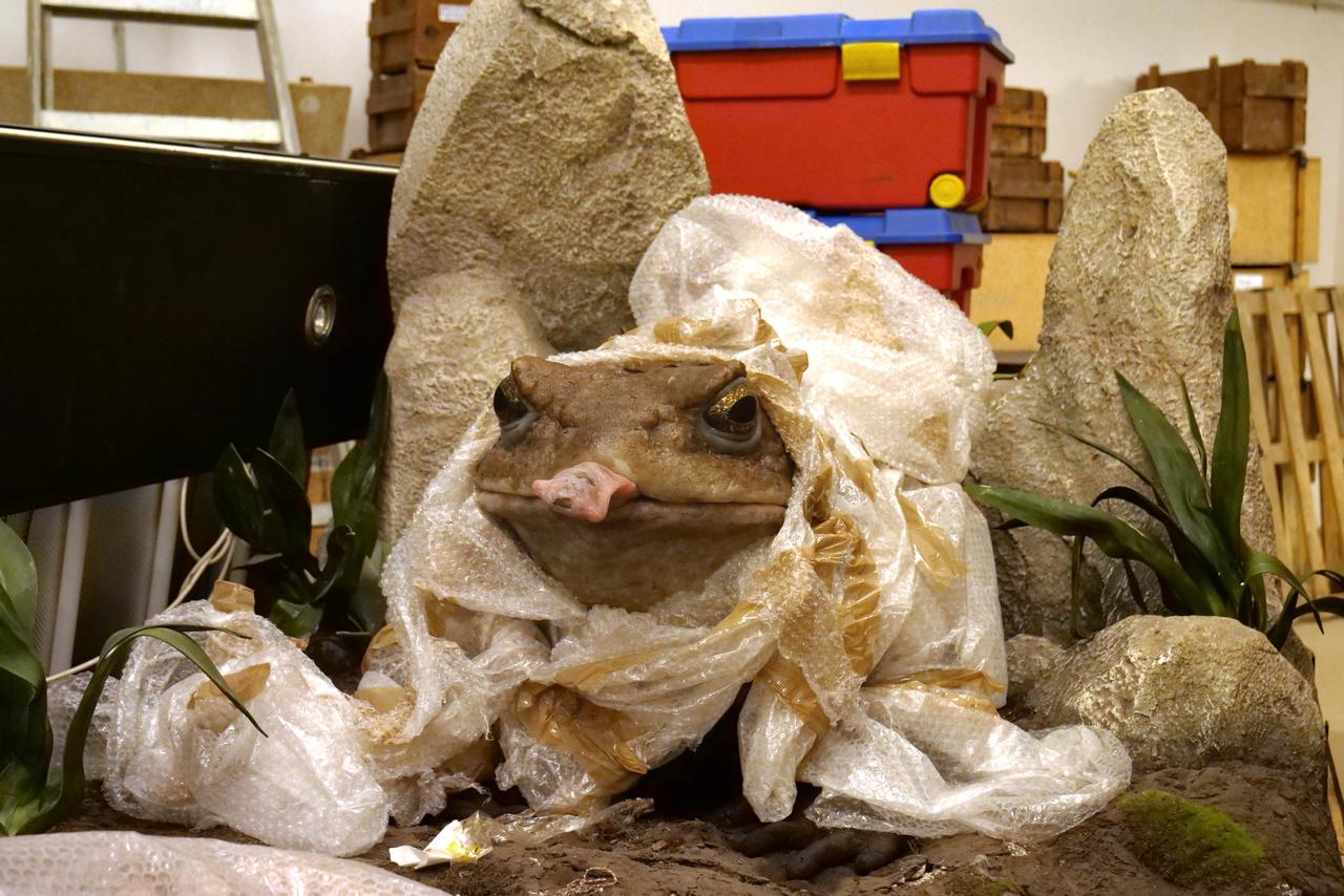 Egy kiállítás éke volt valamikor ez a vadászó óriás kétéltű.