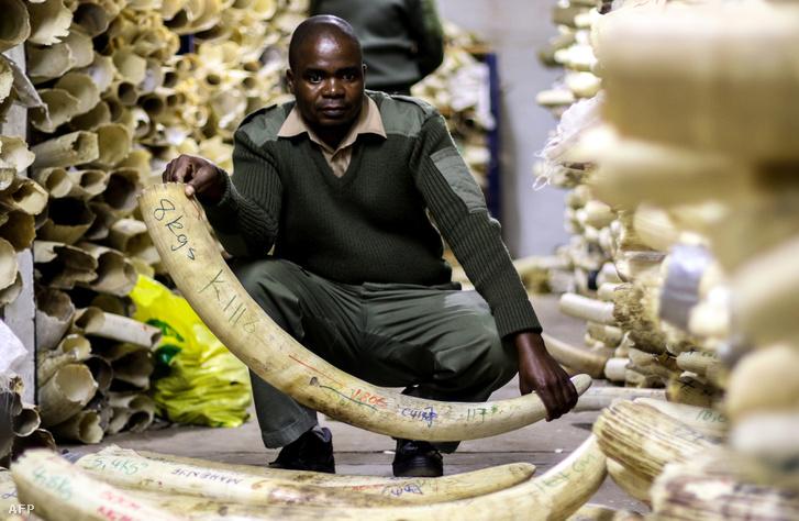 Elefántagyarak a zimbabwei állami elefántcsont raktárban, ahol több mint 90 tonnát őriznek az értékes állatcsontból