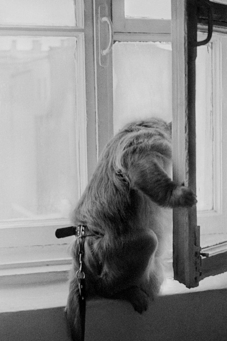 Egy láncra vert majom Leningrádban