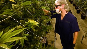 Leállították a legális német marihuána-termesztésre kiírt pályázatot