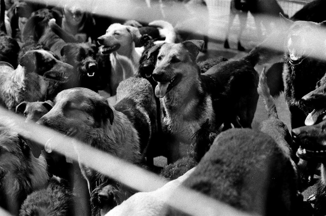 A Fehér Isten forgatása 2014-ben az Illatos úti kutyatelepen. Egy őrület volt az egész forgatás, de ezek a napok különösen kemények voltak: 200 kutya ugatott folyamatosan, miközben a walkie-talkie-n próbáltunk kommunikálni egymással.