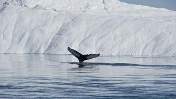 Azonnal közölhető: a grönlandi bálnák hivatalosan is az óceánok legjobb dalnokai