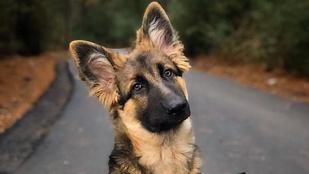 Bebizonyították: tényleg működik a kutyák cukinnézős trükkje