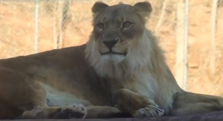 szakállas nőstény oroszlán