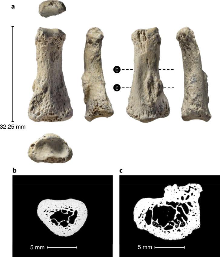 A tanulmány alapjául szolgáló csontkövületek