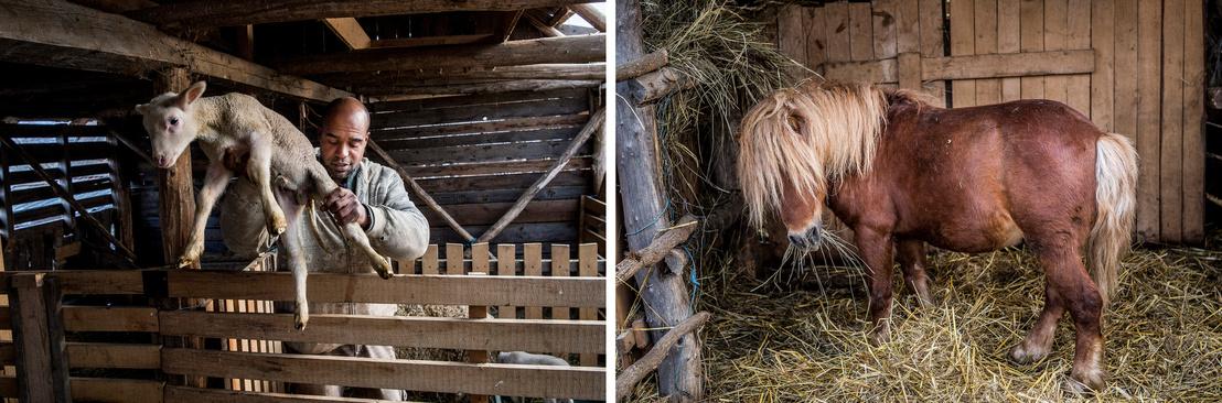 A férfi az összes kecskét név szerint ismeri. Jobb oldalt pedig egy befogadott vak póni falatozik, ő is elfér a farmon.