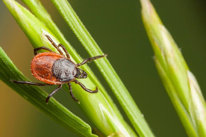 Maradandó károsodást okozhat a kullancscsípés: 5 módszer, amivel nagy eséllyel kivédheted