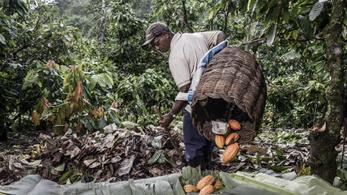 A kakaó mentheti meg Amazóniát