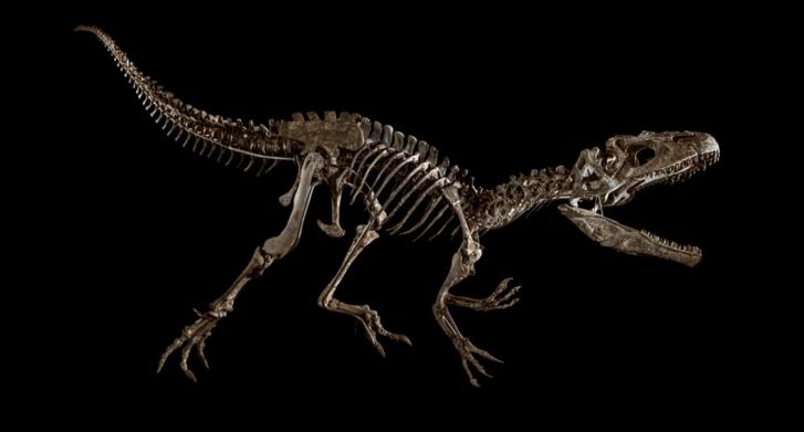 A ragadozó Allosaurus