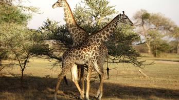 Zsiráf ölt operatőrt Dél-Afrikában